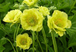 GEUM 'Banana Daiquiri'®