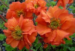 GEUM chiloense 'Dolly North'