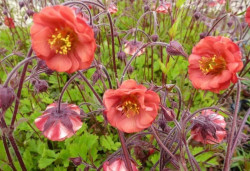 GEUM rivale 'Flames of Passion'®