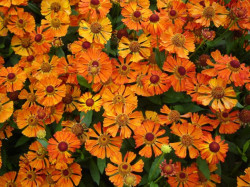 HELENIUM 'Little Orange'
