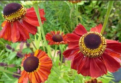 HELENIUM 'Red Army'