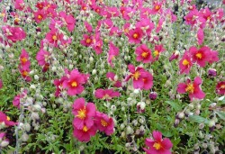 HELIANTHEMUM 'Hartswood Ruby'®