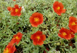 HELIANTHEMUM 'Henfield Brilliant'