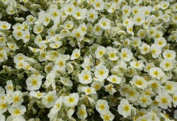 HELIANTHEMUM 'The Bride'