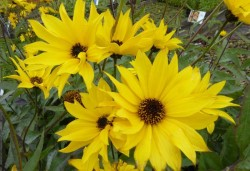 HELIANTHUS atrorubens 'Monarch'