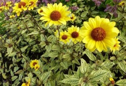 HELIOPSIS helianthoides 'Summer Green'®
