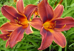 HEMEROCALLIS 'Black Prince'