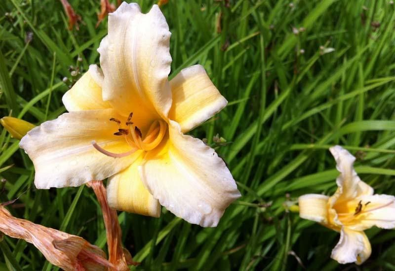 HEMEROCALLIS 'Curls'