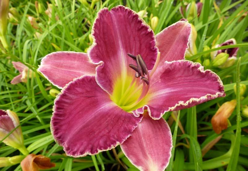 HEMEROCALLIS 'David Kirchhoff'