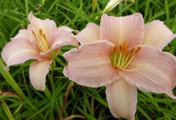 HEMEROCALLIS 'Luxury Lace'