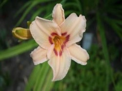 HEMEROCALLIS 'Lynn Hall'