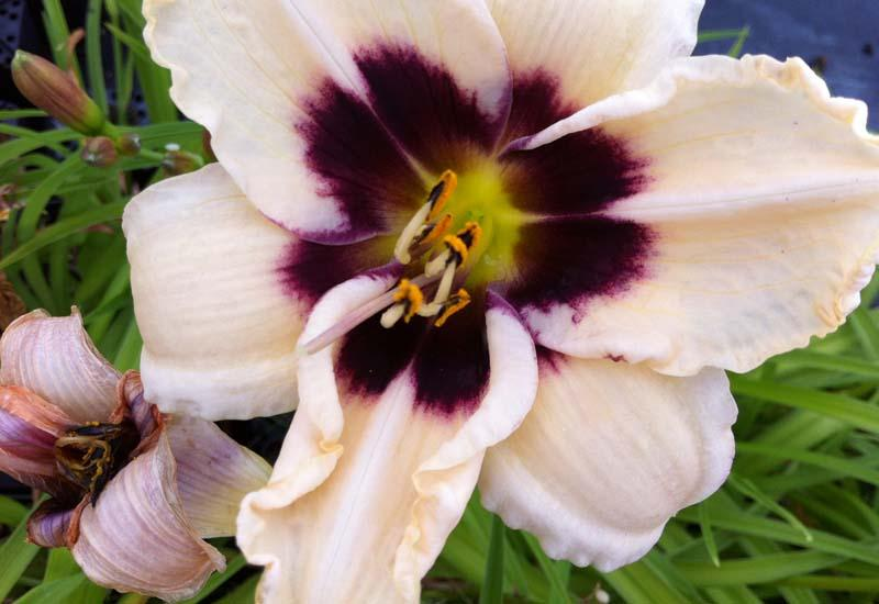 HEMEROCALLIS 'Piano Man'