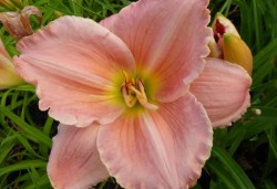 HEMEROCALLIS 'Seminole Wind'