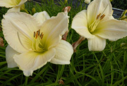 HEMEROCALLIS 'Snowy Apparition'