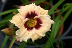 HEMEROCALLIS 'Snowy Eyes'
