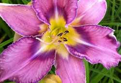 HEMEROCALLIS hybride 'Mildred Mitchell'