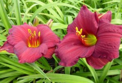 HEMEROCALLIS hybride 'Regency Dandy'
