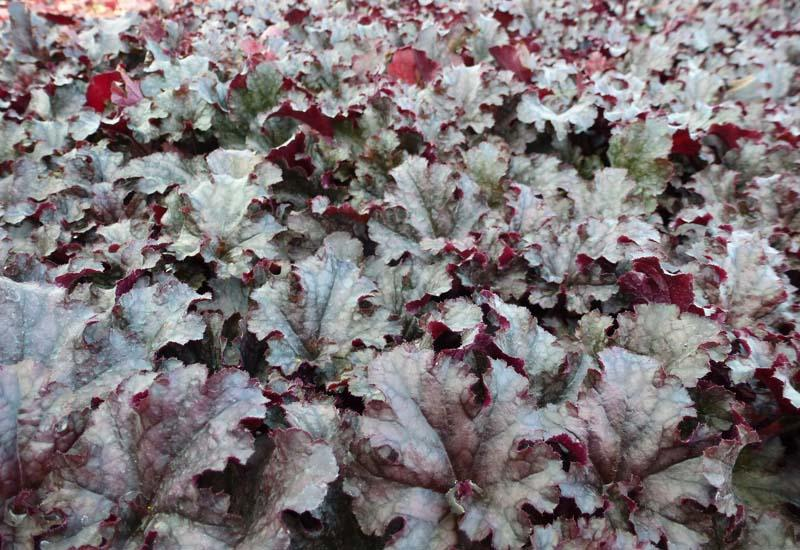 HEUCHERA 'Berry Marmelade'®