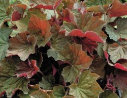 HEUCHERA 'Brownies'®