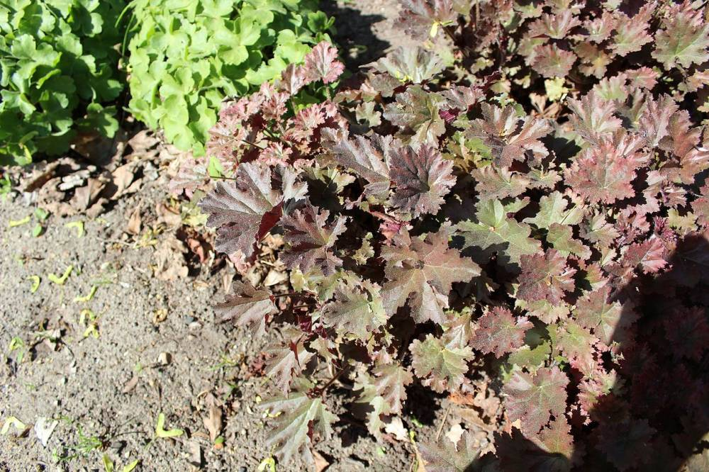 Heuchera 39 cappuccino 39 plantes vivaces for Prix plantes vivaces