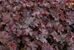 HEUCHERA 'Chocolate Ruffles' ®