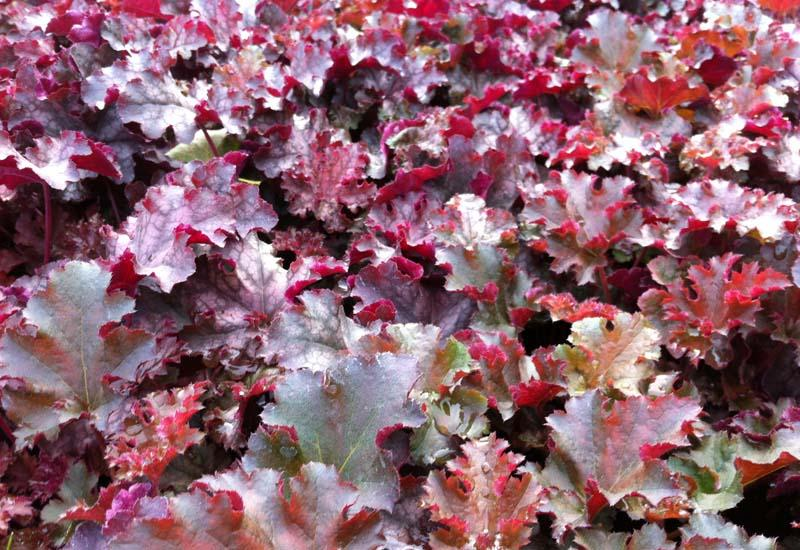 HEUCHERA 'Crimson Curls' ®