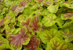 HEUCHERA 'Delta Dawn'®