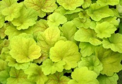 HEUCHERA 'Electric Lime'®