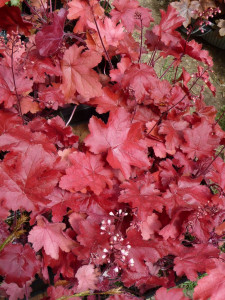 HEUCHERA 'Fire Chief'®