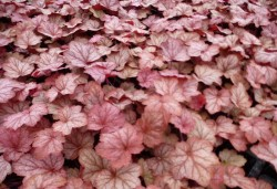 HEUCHERA 'Ginger Peach'®