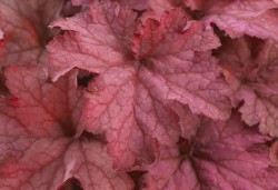 HEUCHERA 'Indian Summer Coralberry'