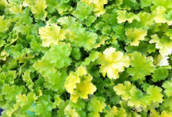 HEUCHERA 'Lime Rickey'®