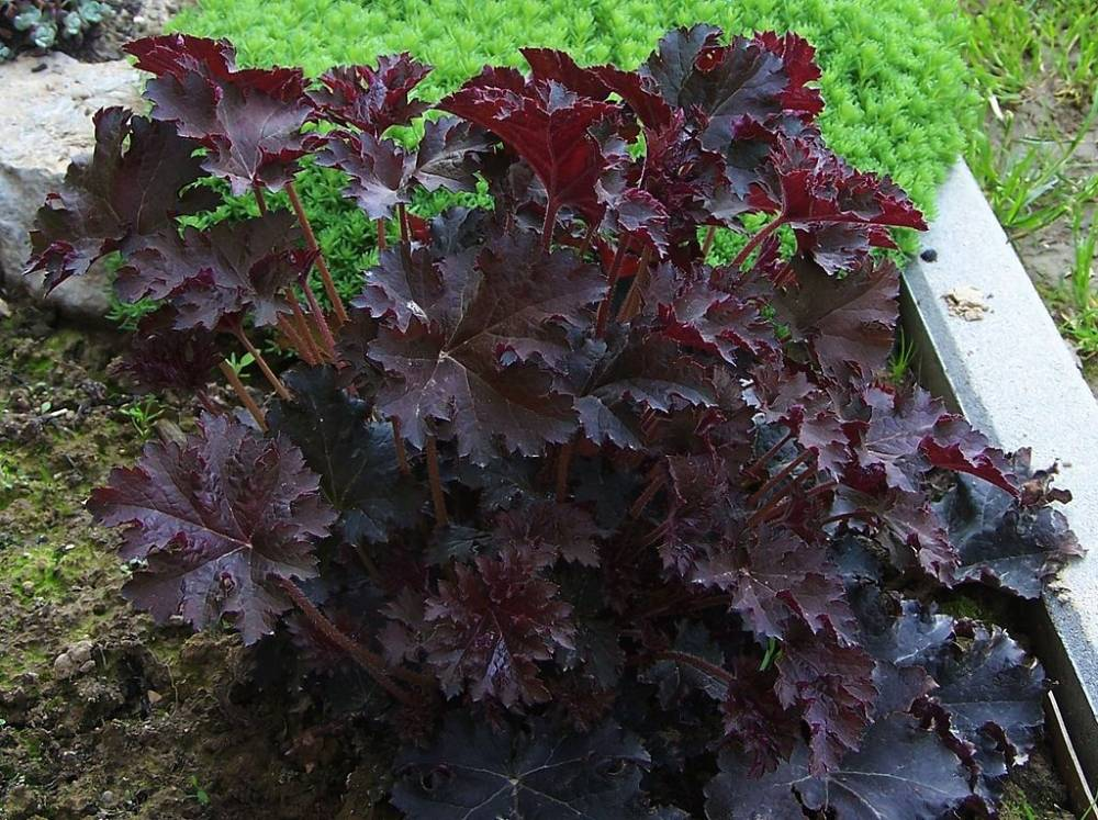 heuchera micrantha 39 palace purple 39 plantes vivaces. Black Bedroom Furniture Sets. Home Design Ideas