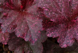 HEUCHERA 'Midnight Rose'®