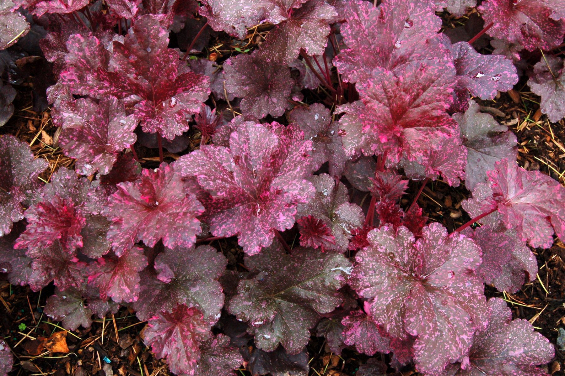 Heuchera 39 midnight rose 39 plantes vivaces for Prix plantes vivaces