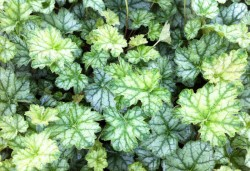 HEUCHERA 'Mint Frost' ®