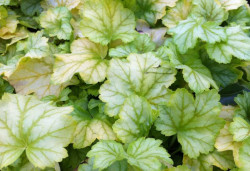 HEUCHERA 'Mint Julep'®