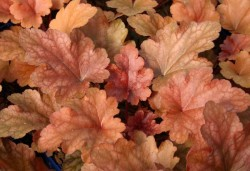 HEUCHERA 'Peach Flambé'®