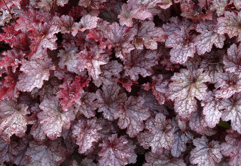 HEUCHERA 'Plum Pudding'®