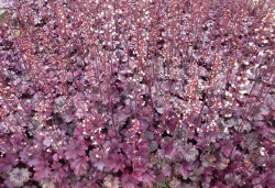 HEUCHERA 'Plum Royale'®
