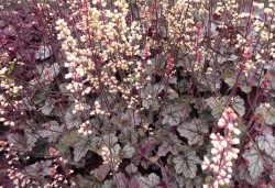 HEUCHERA 'Prince of Silver'®