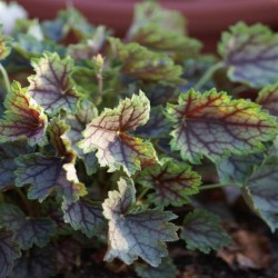 HEUCHERA 'Ring of Fire'