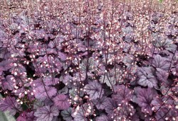 HEUCHERA 'Sugar Plum'®