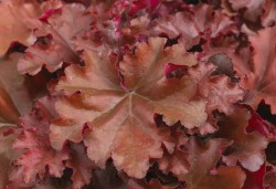 HEUCHERA 'Indian Summer Boysenberry'