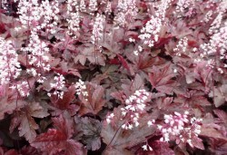 HEUCHERELLA 'Berry Fizz'®