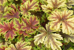 HEUCHERELLA 'Golden Zebra'®