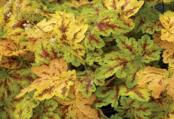 HEUCHERELLA 'Solar Power'®
