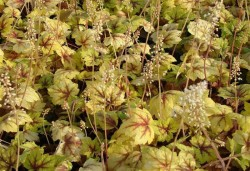 HEUCHERELLA 'Stoplight'®