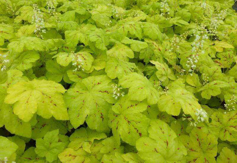 HEUCHERELLA 'Yellowstone Falls'®