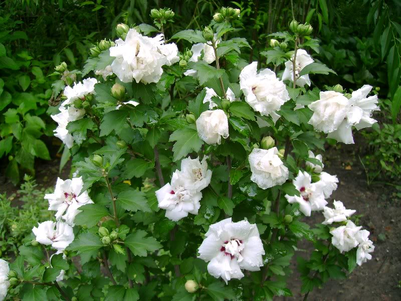 hibiscus syriacus 39 admiral dewey 39 plantes ext rieures. Black Bedroom Furniture Sets. Home Design Ideas